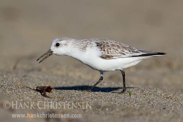 A sanderling calls out as it walks along the sand