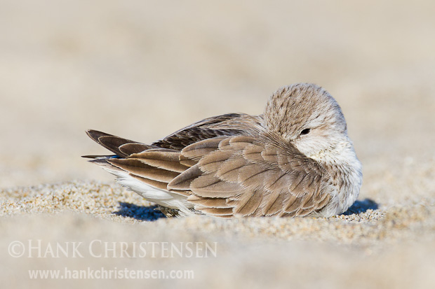 A western sandpiper rests in the sand
