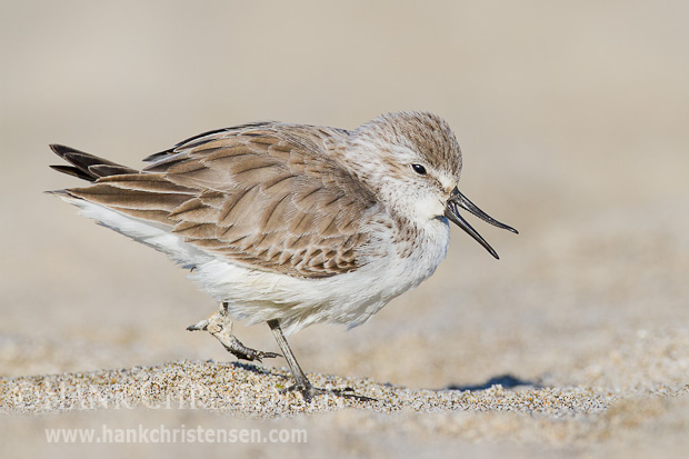 A western sandpiper calls out as it walks along the sand