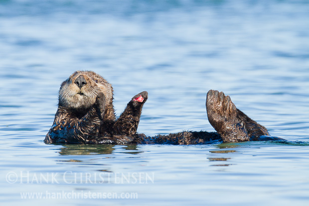 A sea otter floats through the water, taking a break