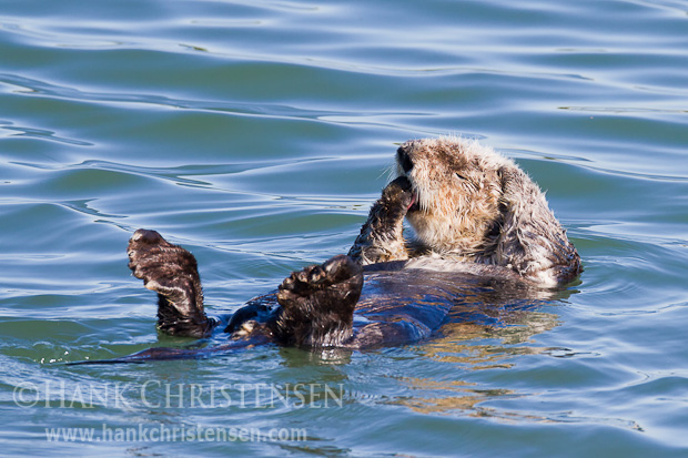 First licking one paw, and then the other, a sea otter takes turns massaging his head with each paw