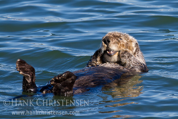 A sea otter rubs its face on each side of its mouth, giving itself a gentle massage