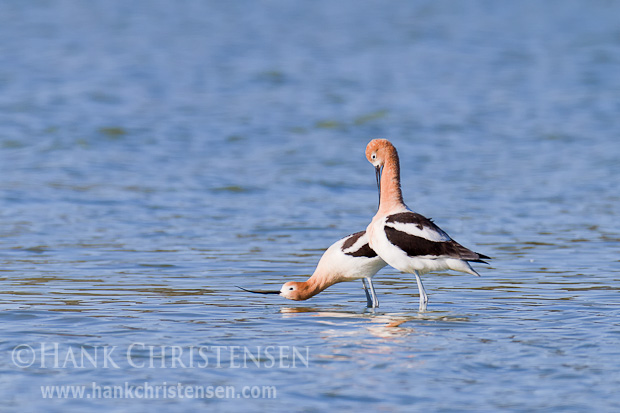 The female avocet signals that she's ready to receive the male by standing with her head close to the water with the beak straight out in front