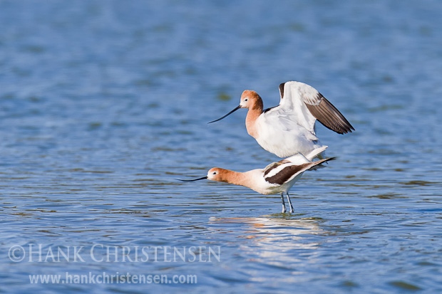 The male avocet mounts the female from behind. The act of copulation lasts only a few seconds.