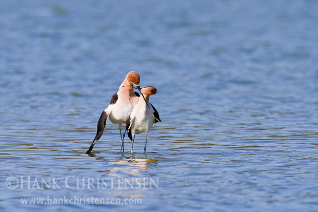 Immediately after copulation, the avocets cross beaks. Holding them in this position, they walk in a tight circle two or three times.