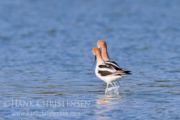 Soon after the avocet pair copulates, they promenade side-by-side in a straight line