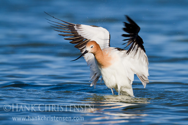 Rising out of the water, an american avocet flaps its wings to dry them off.