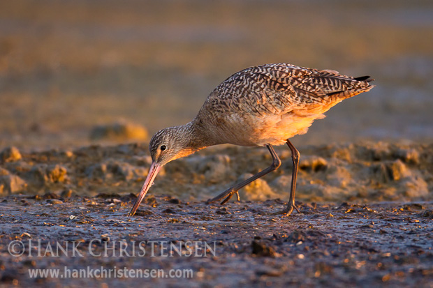 A marbled godwit walks along a muddy shore, looking for food