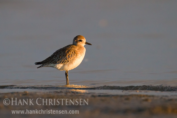 A black-bellied plover in winter plumage stands along the shore in shallow waves