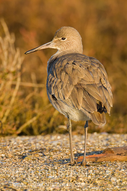 A willet stands on broken shells, posing for a portrait