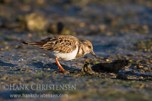 A ruddy turnstone pokes through a muddy beach in search of food