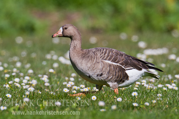 A greter white-fronted goose walks through a field of grass and white flowers