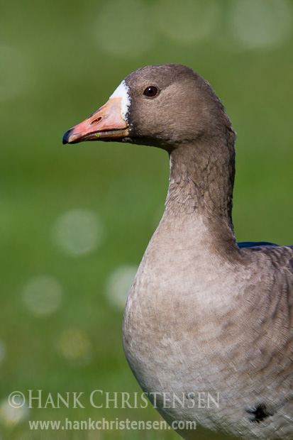 A greater white-fronted goose stands for a head and shoulder portrait