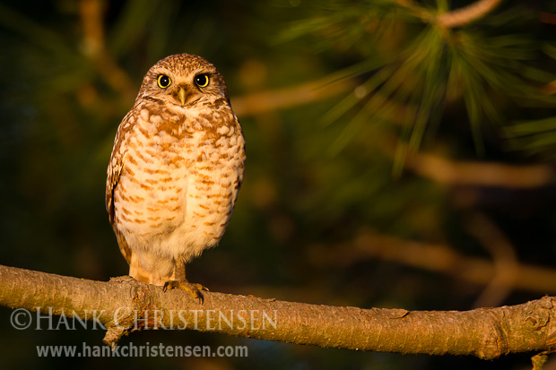 A burrowing owl perches on a tree branch above its burrow at sunrise