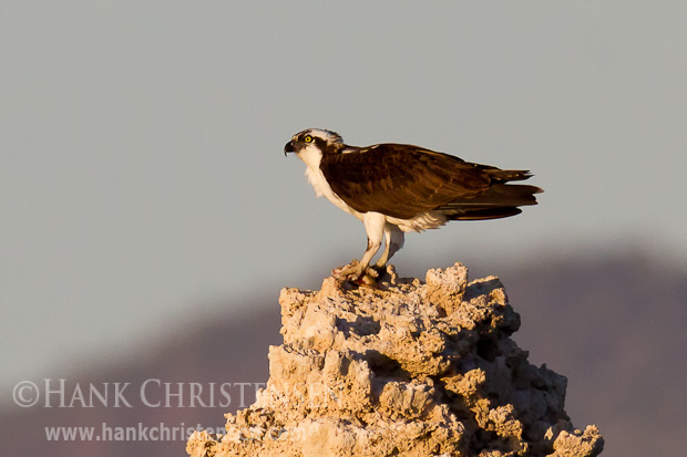 An osprey clutches the remains of a fish in its talon as it perches on top of a tufa tower, Mono Lake, CA