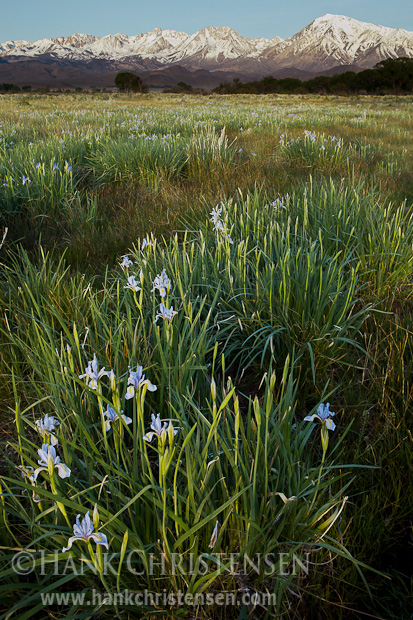 Irises catch first light, Bishop, CA
