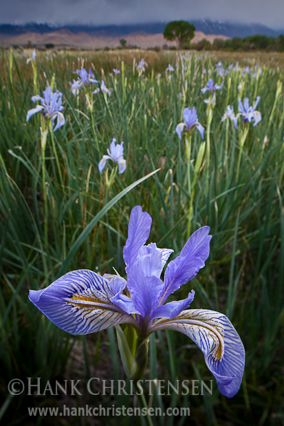 Irises come into bloom outside of Bishop, CA