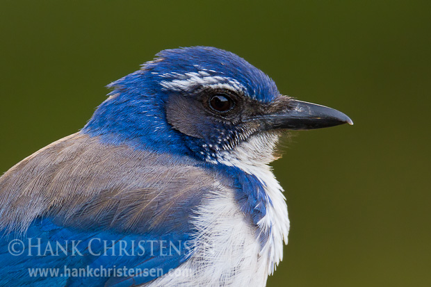 A western scrub jay perches in early morning light