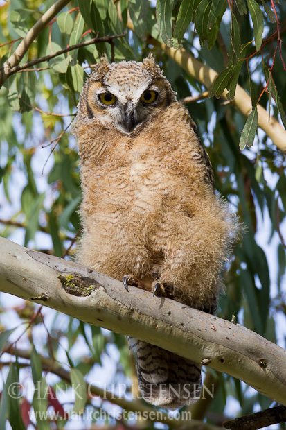 A young great-horned owl that has yet to fledge perches on a tree branch, awaiting food from a parent
