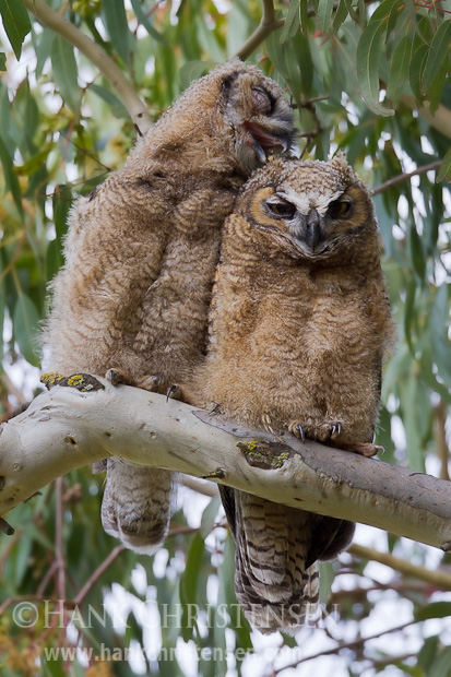 While sitting side-by-side, one owlet begins to groom its sibling. Neither owlets have fledged.