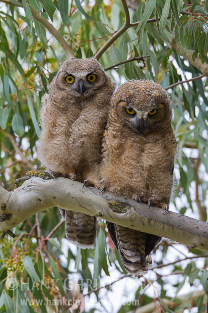 Two great horned owlets sit side by side on a tree branch. Both have yet to fledge and are awaiting food from a parent.
