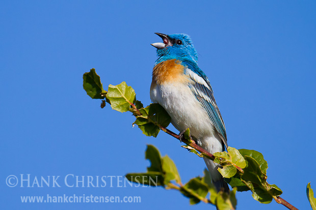 A lazuli bunting perches on a branch in the sun, singing, Arastradero Preserve, Palo Alto, CA