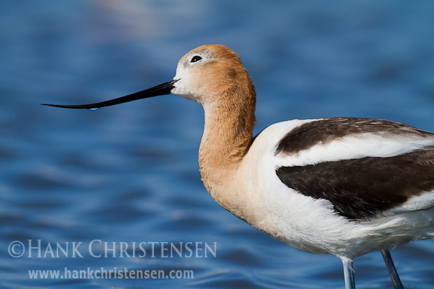 An american avocet continually watches the skies above its nesting area, looking for would-be predators