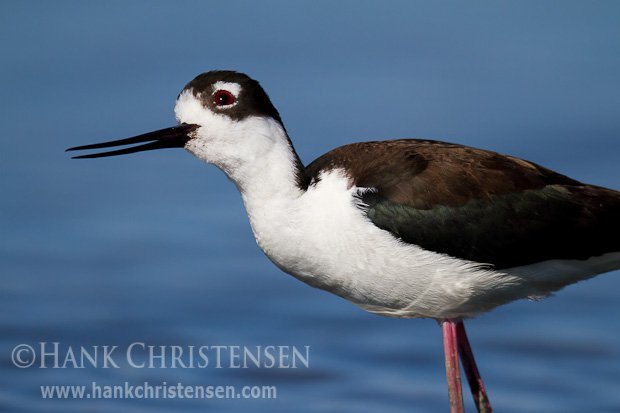A black-necked stilt continually watches the skies above its nesting area, looking for would-be predators