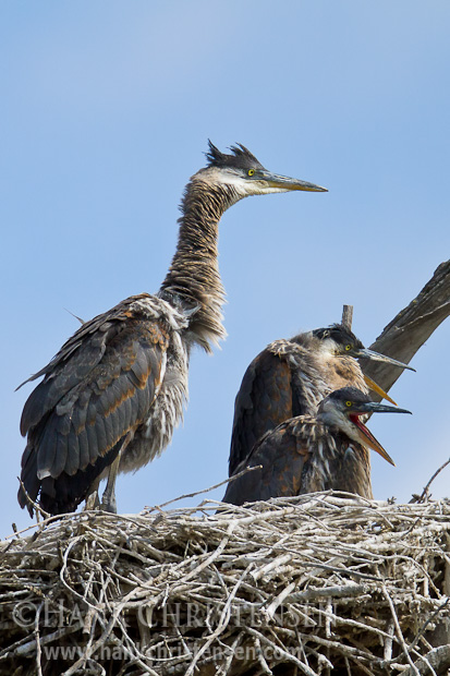 Three hungry great blue heron chicks eagerly await the return of a parent with food