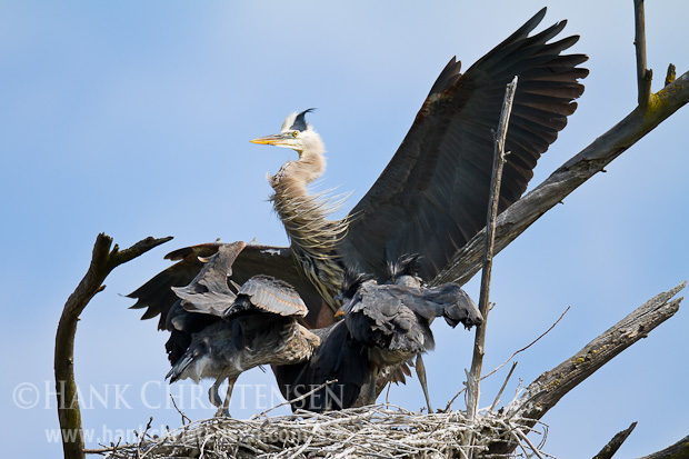 An adult great blue heron returns to the nest to feed its hungry chicks