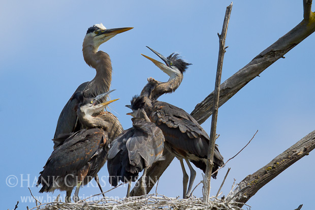 Hungry great blue heron chicks surround the parent, begging to be fed