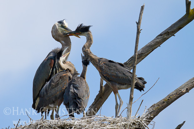 A great blue heron chick aggressively bites at the parents beak and neck, waiting to be fed