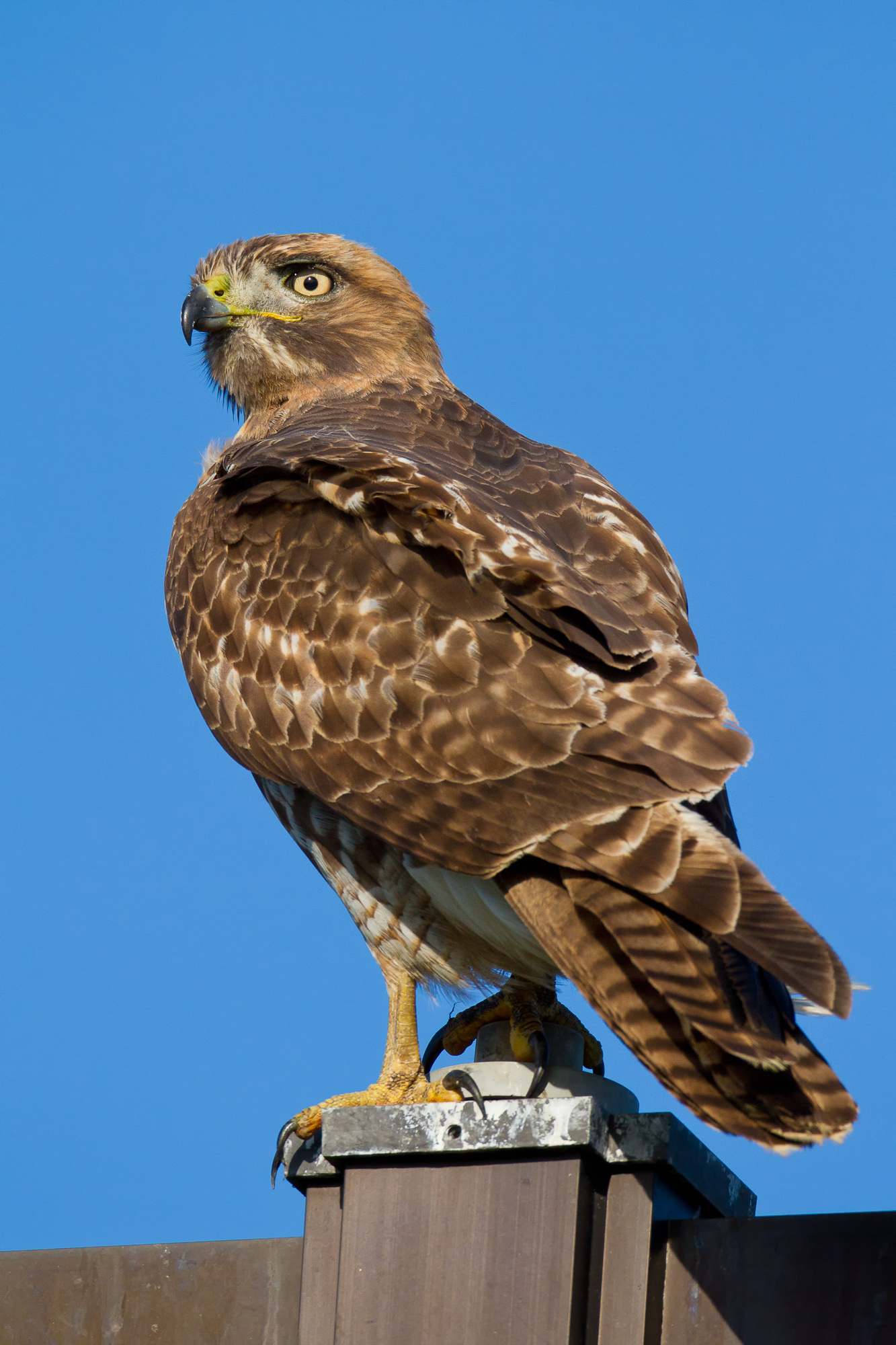 A juvenile red-tailed hawk perches on the top of a metal lamp post
