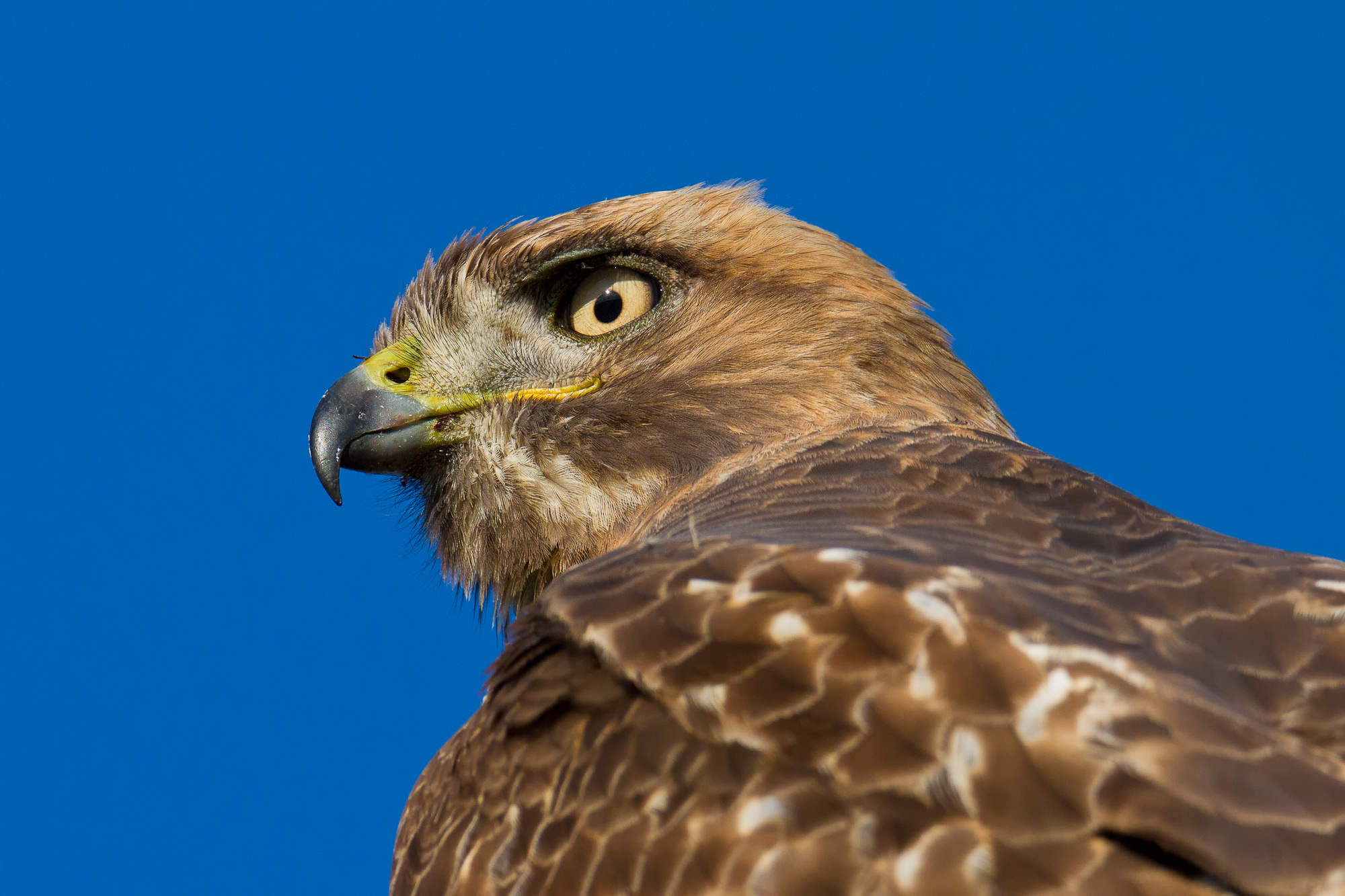 An immature red-tailed hawk looks back over its shoulder