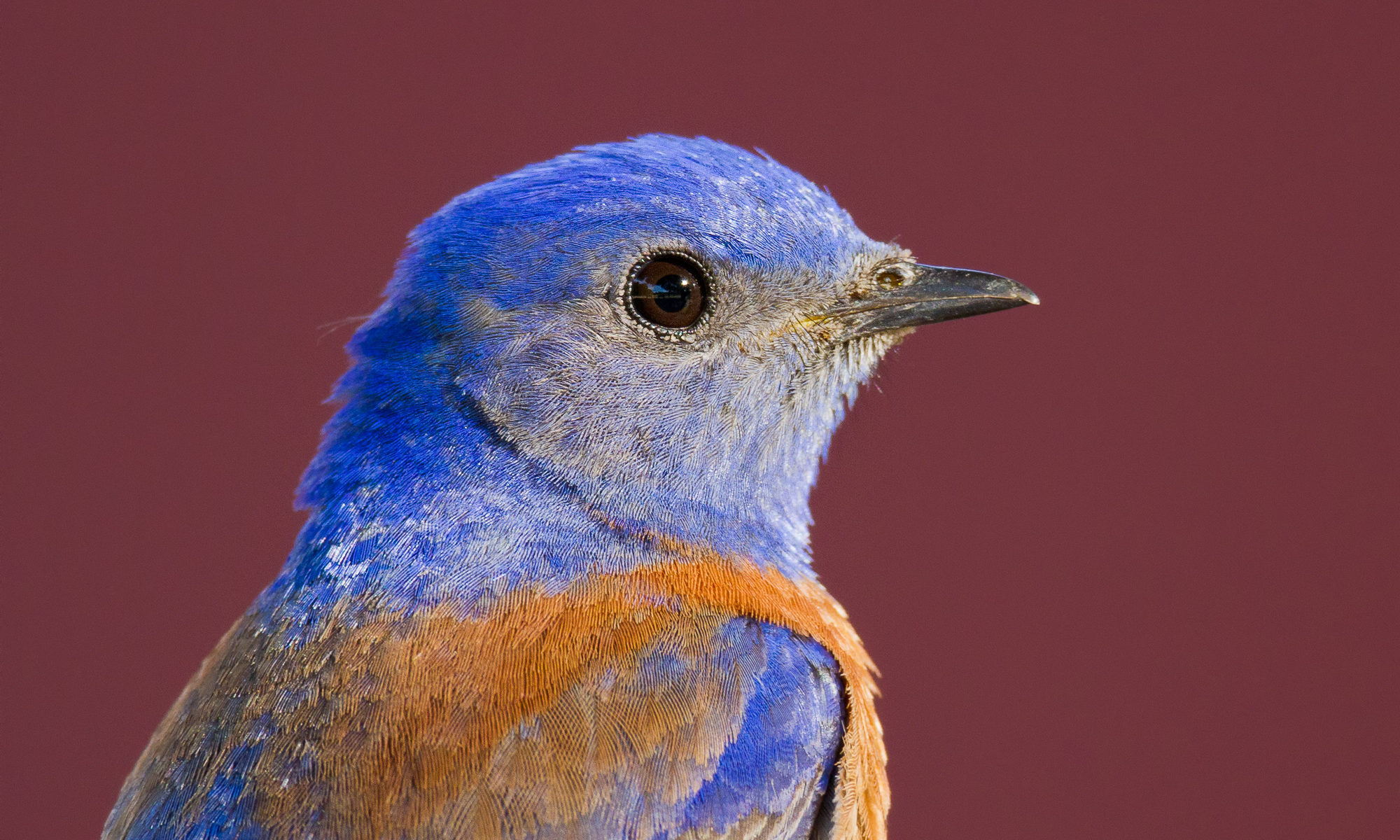 A western bluebird perches in front of a red barn