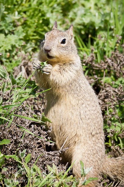 A california ground squirrel eats a freshly picked thistle leaf