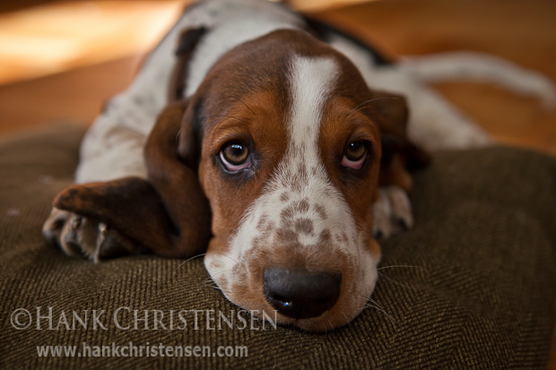A basset hound puppy sits on its dog bed, looking mournful at the camera