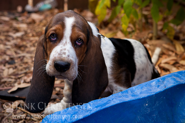 A basset hound puppy sits outside on the ground, looking pathetic