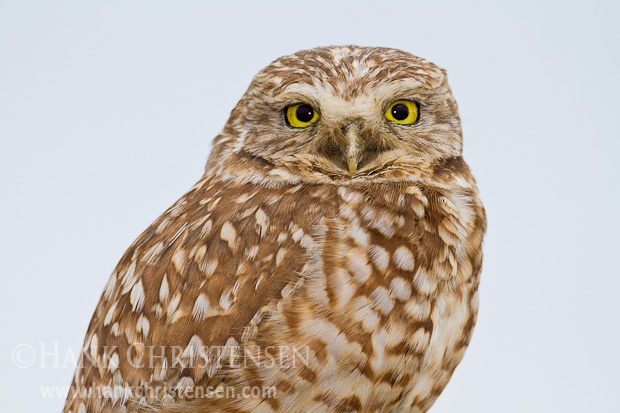 A burrowing owl portrait is captured against a white sky background