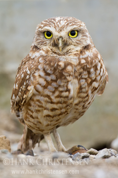 A burrowing owl stands on rocky ground, looking at the camera