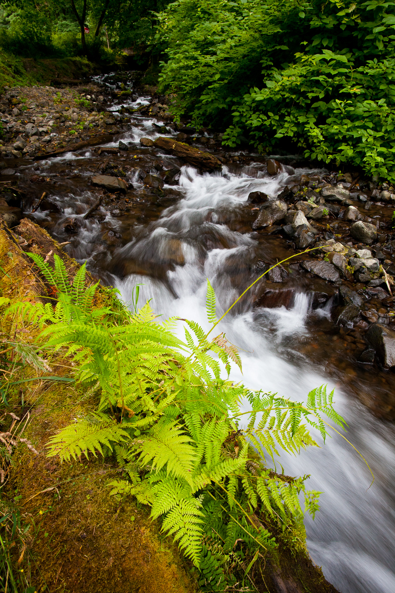 The river below Wahkeena Falls cascades past a fern, Columbia River Gorge, Oregon