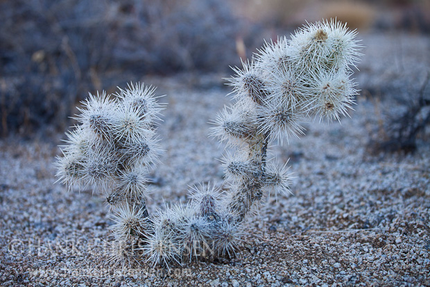 Cholla cactus thrives in the high desert of the Alabama Hills