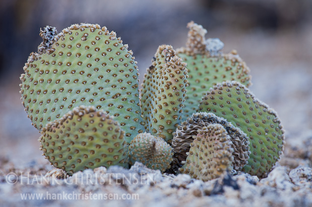 A modest beavertail cactus grows in the Alabama Hills