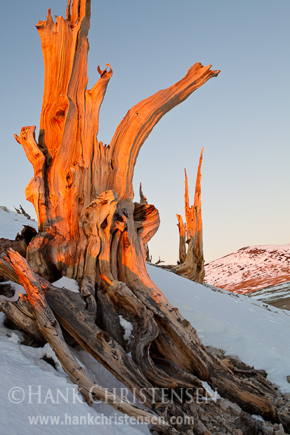 A bristlecone stump clings to the side of a snowy slope, where it has sat for thousands of years