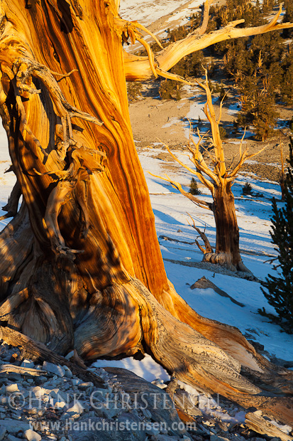 A twisted bristlecone pine reflects the warm glow of the rising sun, Ancient Bristlecone Pine Forest