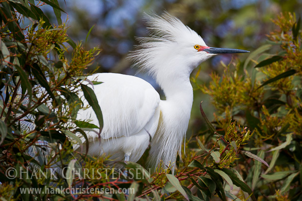 A snowy egret grows long bushy feathers and has a bright red skin around the base of the beak in breeding season