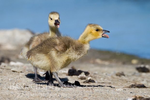 Two canada goose chicks forage at the edge of a small pond