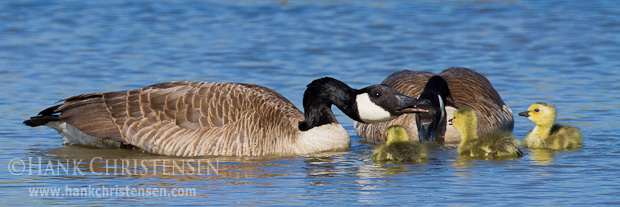 A canada goose delivers a lesson to its young chicks