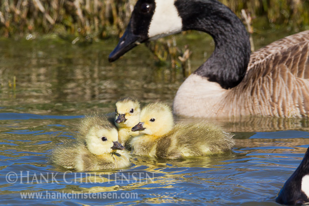 A canada goose keeps a careful eye on its young