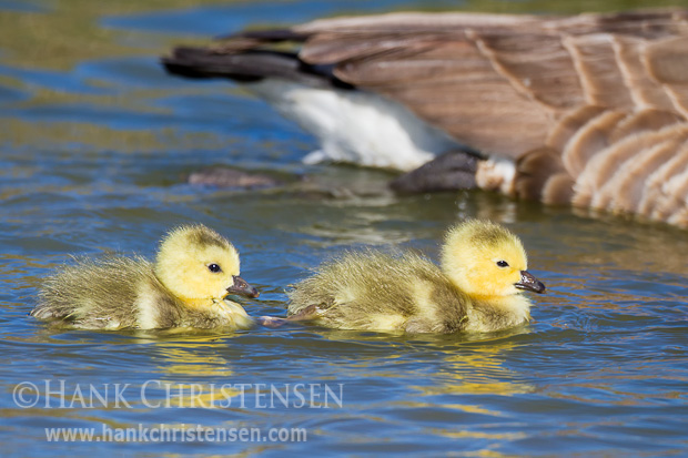 Two canada goose siblings swim together in a pond